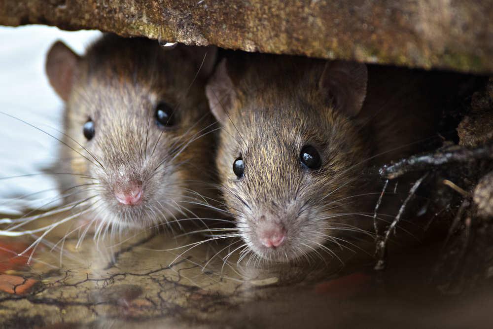 ¡Socooooooorro! ¡Tengo ratones en mi casa!